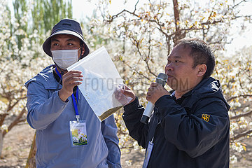 CHINA-XINJIANG-Korla-DRONES-künstliche Bestäubung (CN)