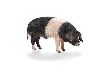 Landwirtschaftliche Nutztiere  Angler Sattelschwein.