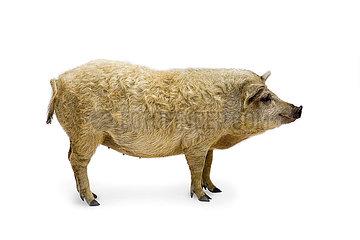 Blondes Mangalitza Wollschwein