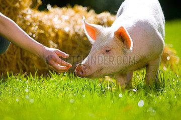 Schwein wird gefuettert.