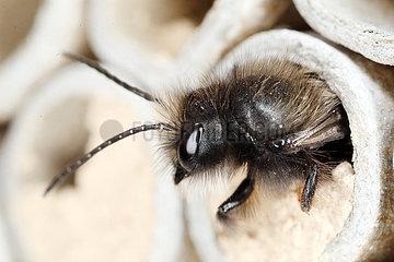 Berlin  Deutschland  Rote Mauerbiene schluepft im Fruehling aus einem Bambusrohr eines Insektenhotels