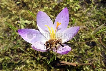 Berlin  Deutschland  Biene sammelt Nektar aus einer violetten Krokusbluete