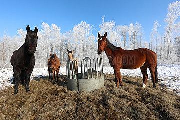 Bruchmuehle  Pferde stehen im Winter auf einer Koppel mit Heuraufe