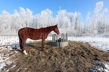 Bruchmuehle  Pferd steht im Winter auf einer Koppel mit Heuraufe