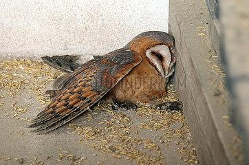 Graditz  Deutschland  tote Schleiereule liegt auf dem Boden einer Scheune