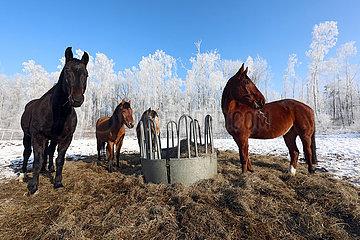 Bruchmuehle  Pferde fressen im Winter auf einer Koppel aus einer Heuraufe