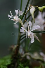 CHINA-SICHUAN-MOUNT EMEI-Holcoglossum OMEIENSE-PROTECTION (CN)
