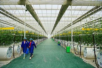 CHINA-XINJIANG-KASHGAR-VEGETABLE PRODUCTION(CN)