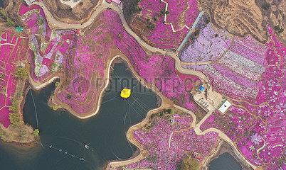 CHINA-HEBEI-TANGSHAN-MOSS PINK-FLOWER (CN)