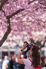 SCHWEDEN-STOCKHOLM-kirschblüten