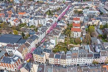 Kirschblüte in der Bonner Altstadt | Cherry blossom in Bonn's old town