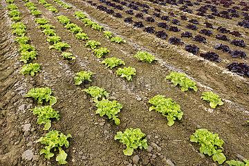 Gemueseanbau  Salatpflanzen wachsen in Reihen auf dem Feld  Welver  Nordrhein-Westfalen  Deutschland