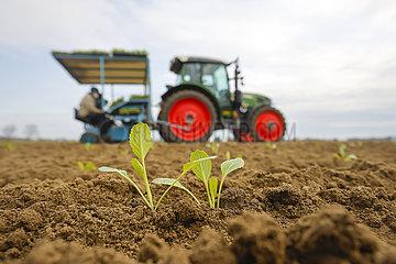 Gemueseanbau  Industriekohl Jungpflanzen werden in den Acker gesetzt  Welver  Nordrhein-Westfalen  Deutschland