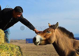 CHINA-XINJIANG-Jimsar-Przewalskipferde-Breeding and Research Center-Personal (CN) CHINA-XINJIANG-Jimsar-Przewalskipferde-Breeding and Research Center-Personal (CN) CHINA-XINJIANG-Jimsar-Przewalskipferde Zucht und RESEARCH CENTER- Personal (CN)