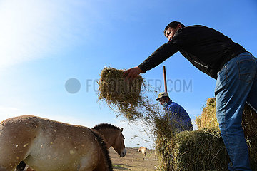 CHINA-XINJIANG-Jimsar-Przewalskipferde-Zucht- und RESEARCH CENTER-STAFF (CN)