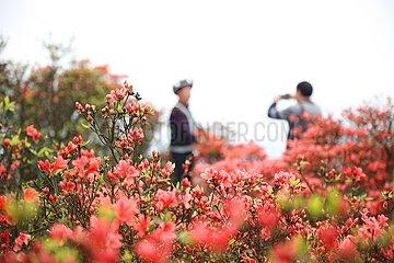 # CHINA-GUIZHOU-Danzhai-AZALEE FLOWERS (CN)