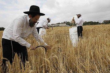 ISRAEL-Modiin-ultraorthodoxen JUDEN-WEIZEN HARVEST