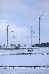 Gestuet Goerlsdorf  Pferde im Winter bei Daemmerung auf einer schneebedeckten Weide
