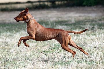 Ingelheim  Deutschland  Hund der Rasse Magyar Vizsla rennt ueber eine Wiese