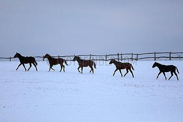 Gestuet Goerlsdorf  Pferde traben bei Daemmerung ueber eine schneebedeckte Weide
