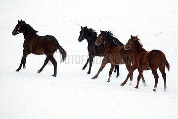 Gestuet Goerlsdorf  Pferde galoppieren ueber eine schneebedeckte Weide