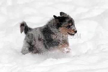 Breitenbach  Deutschland  Hundewelpe rennt durch tiefen Schnee