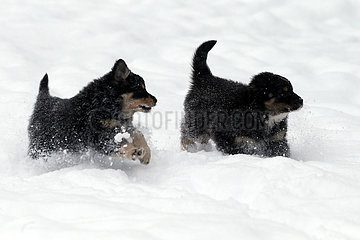 Breitenbach  Deutschland  Hundewelpen rennen durch tiefen Schnee