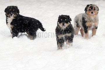 Breitenbach  Deutschland  Hundewelpen im Tiefschnee