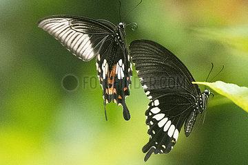 SINGAPUR-BUTTERFLY-FLOWER