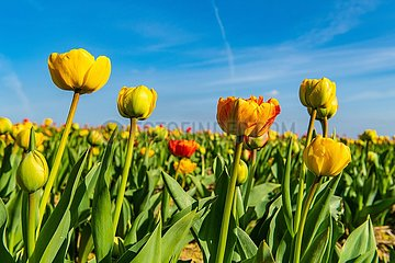 Tulpenfeld am Niederrhein | Tulip field on the Lower Rhine
