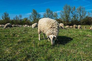 Schafe auf der Weide | Sheep on the pasture