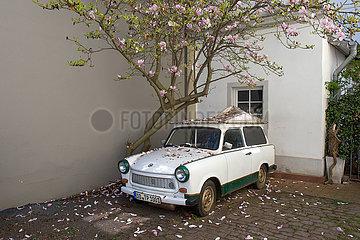 Dresden  Deutschland - Trabant unter einem bluehenden Obstbaum