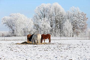 Bruchmuehle  Ponies fressen im Winter Heu auf einer Koppel