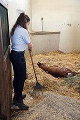 Gestuet Graditz  Auszubildende zum Pferdewirt harkt Stroh in eine Pferdebox