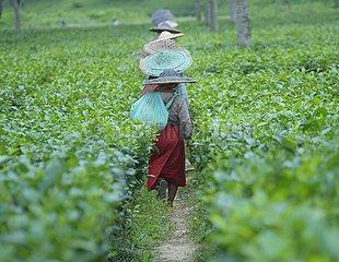 INDIEN-Agartala-Teeblättern KOMMISSIONIER-