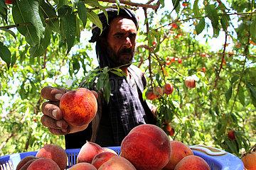 AFGHANISTAN-Balkh-PEACH-ERNTE