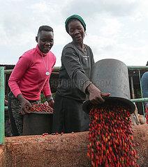 KENIA-Ruiru-KAFFEEBOHNEN-ERNTE KENIA-Ruiru-KAFFEEBOHNEN-ERNTE KENIA-Ruiru-KAFFEEBOHNEN-ERNTE KENIA-Ruiru-KAFFEEBOHNEN-ERNTE