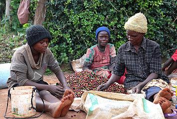 KENIA-Ruiru-KAFFEEBOHNEN-ERNTE KENIA-Ruiru-KAFFEEBOHNEN-ERNTE