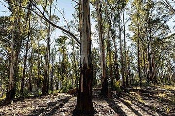 AUSTRALIEN-Namadgi NATIONAL PARK-BUSHFIRE-REGENERATION