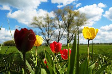 Deutschland  Bremen - Tulpen in einem Landschaftsschutzgebiet