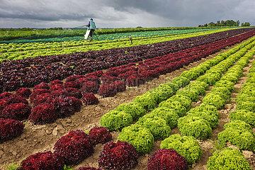 Gemueseanbau  Salatpflanzen wachsen in Reihen auf dem Feld  Soest  Nordrhein-Westfalen  Deutschland