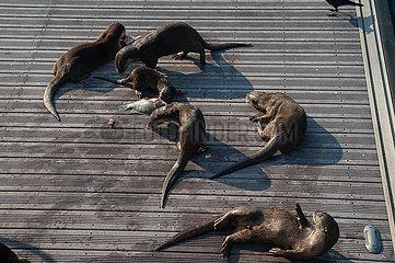 Singapur  Republik Singapur  Wildlebende Indische Fischotter (Glattotter) fressen in Marina Bay gefangenen Fisch