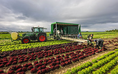 Gemueseanbau  Erntehelfer bei der Salaternte  Soest  Nordrhein-Westfalen  Deutschland