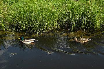 Deutschland  Bremen - Enten in einem Bach