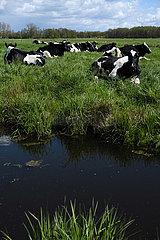 Deutschland  Bremen - sitzende Kuehe auf der Weide im Landschaftsschutzgebiet Blockland
