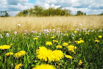 Deutschland  Bremen - Feldblumen auf einem Deich