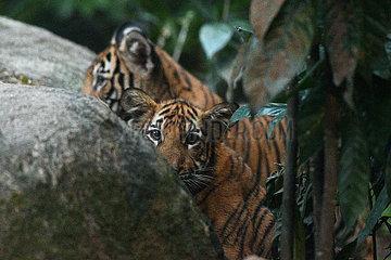 SINGAPUR-ZOO-malaiisch Tigers CUB-FIRST SHOW