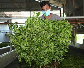 INDIAN-AGARTALA-TEA GARDEN WORKERS