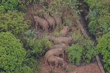 CHINA-YUNNAN-Asiatische Elefantenherde-shijie TOWNSHIP-verweilenden (CN)