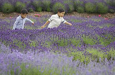 KANADA-RICHMOND-lavendel BLOOMING